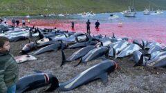 قتل عام دلفین ها در دانمارک