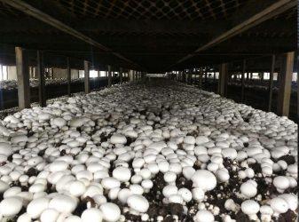 تولید و پرورش قارچ و اخذ مجوز تولید