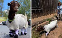 بز معلولی که با پاهای مصنوعی زندگی جدیدی را آغاز کرده است