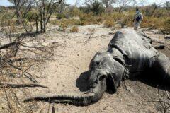 آیا ویروس مرموز کشنده فیل های آفریقا می تواند کابوسی دیگر برای انسان ها باشد؟