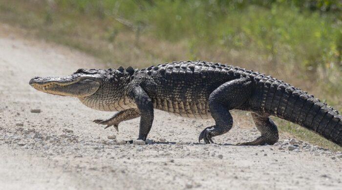 محققان: تمساح ها می توانند دم تازه درآورند