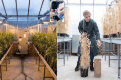 تلاش برای تولید گندمی خاص برای جلوگیری از سرطان